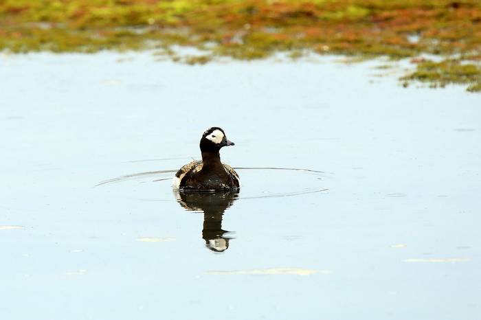 Long-tailed Duck (Bret Charman)