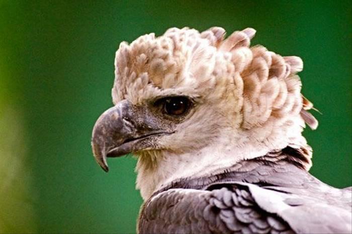 Harpy Eagle (David Tipling)
