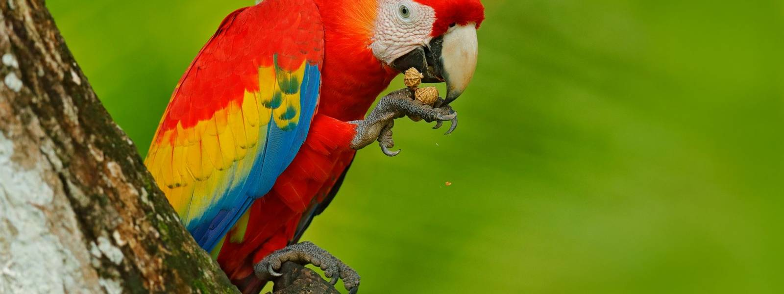 Parrot Scarlet Macaw, Ara macao, in green tropical forest with nut, Costa Rica, Wildlife scene from tropic nature. Red bird …