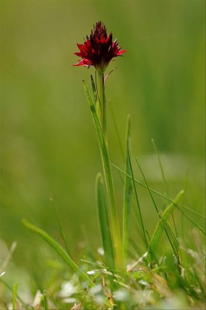 Vanilla Orchid (David Morris)