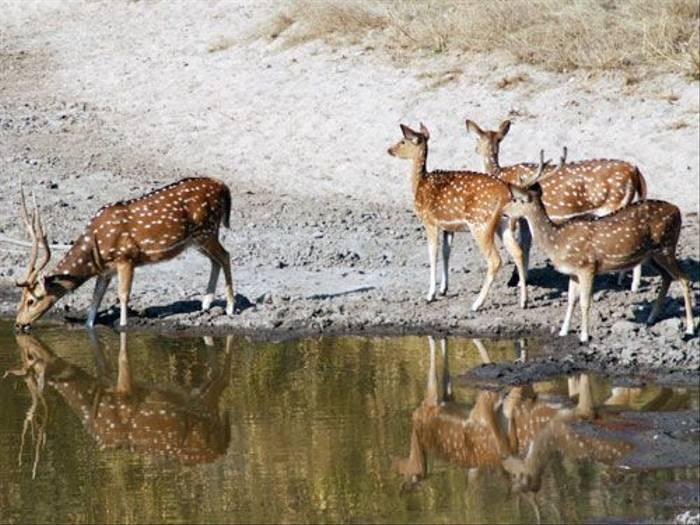 Spotted Deer (Thomas Mills)