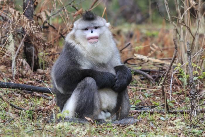 Yunnan Black Snub-Nosed Monkey shutterstock_630249503.jpg