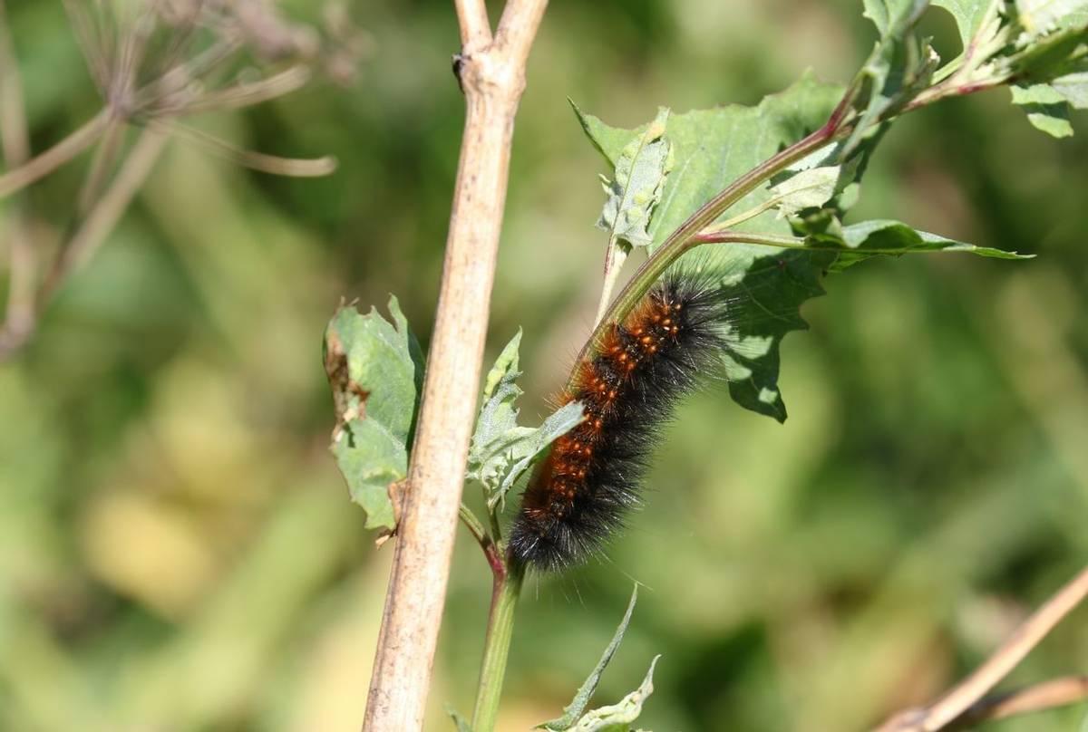 Woolly Bear Caterpillar (Brian West)
