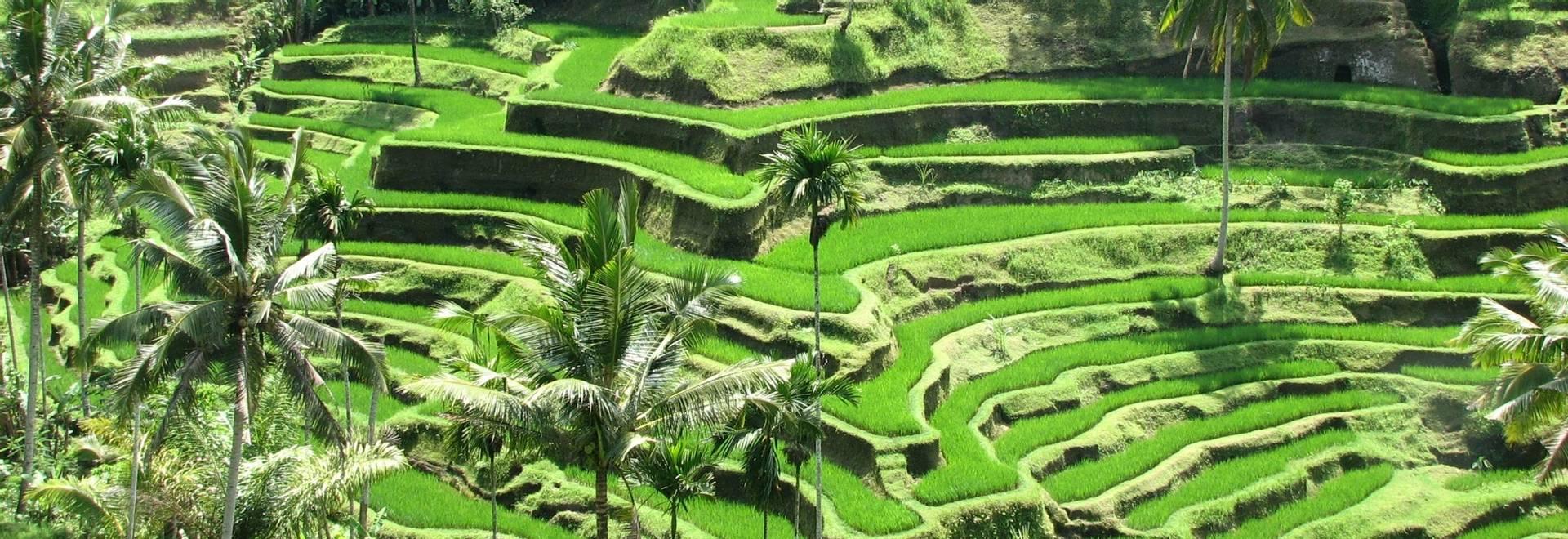 rice field bali.jpg
