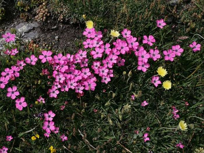 Dianthus Pavonius (Jenny Wilsher)