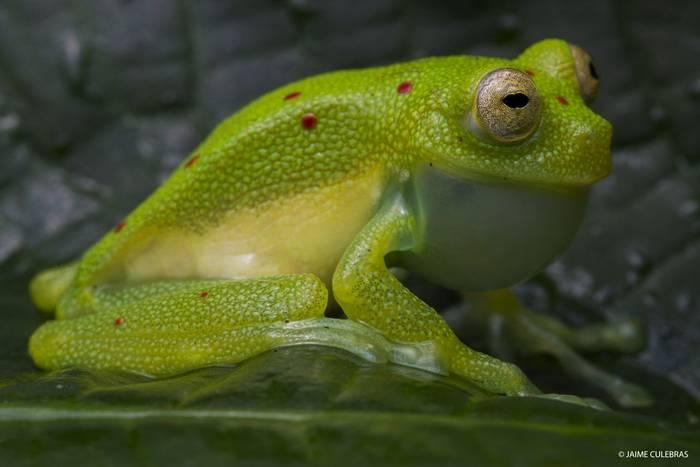 Red-spotted Glassfrog (Nymphargus grandisonae) - Jaime Culebras