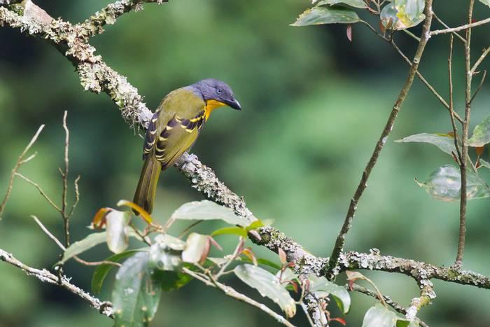 Lagden's Bush Shrike, Rwanda shutterstock_1030443112.jpg