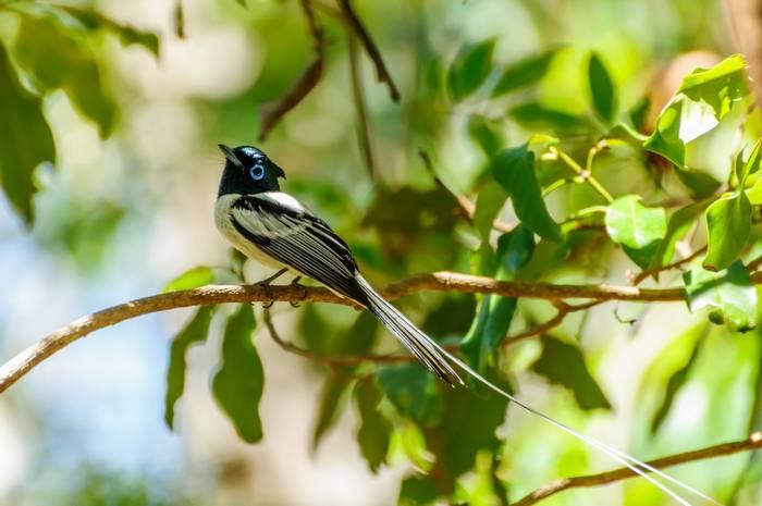 Malagasy Paradise Flycatcher, Madagascar shutterstock_371880310.jpg