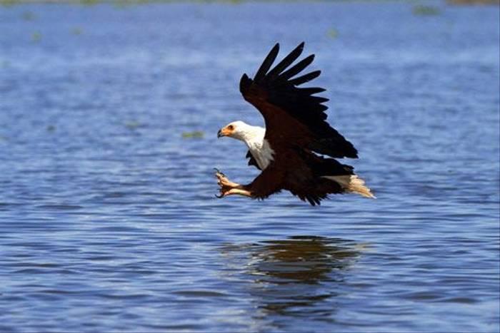 African Fish Eagle (Bret Charman)