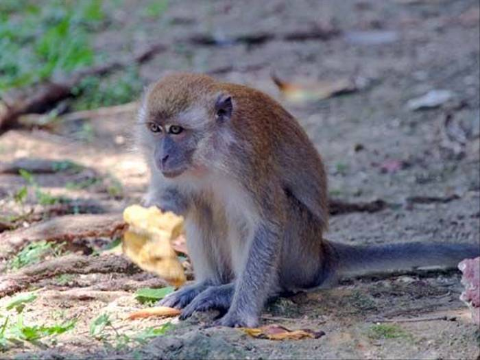Long-tailed Macaque (Mike Galtry)