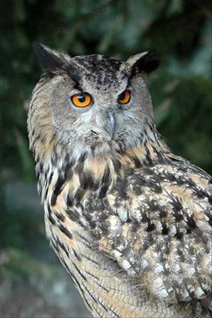 Eagle Owl (Gerald Broddelez)