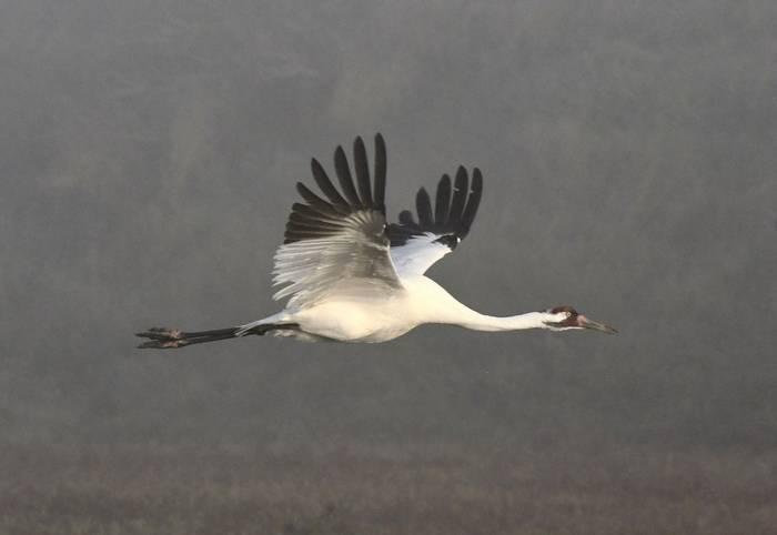 Whoopping Crane (Aransas NWR)