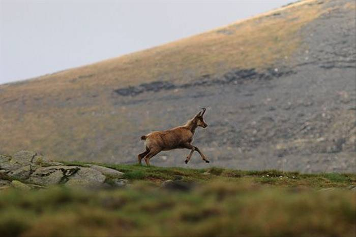 Chamois or Isard (David Morris)