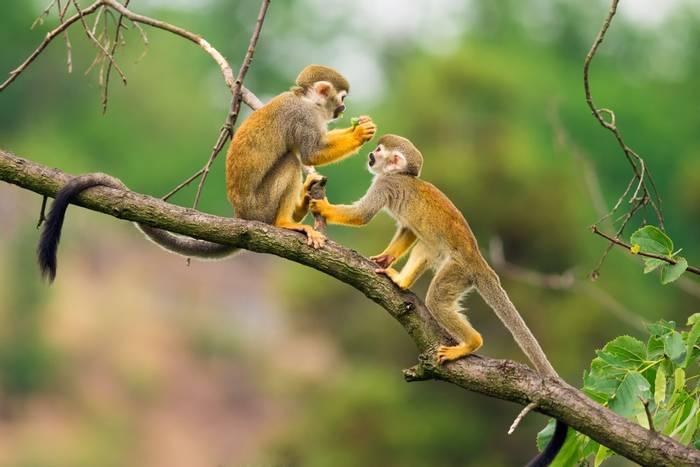 Squirrel Monkey Shutterstock 286846964
