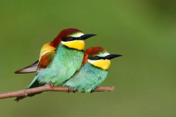 European Bee-eaters (Peter Gyure) (2).jpg