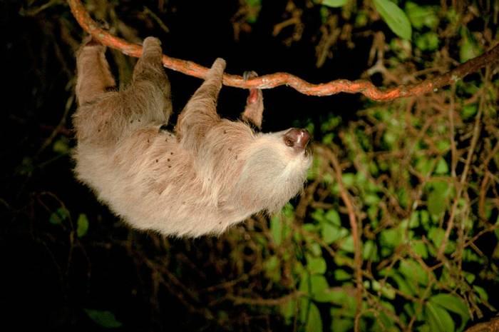 Two-toed Sloth (Tarina Hill)