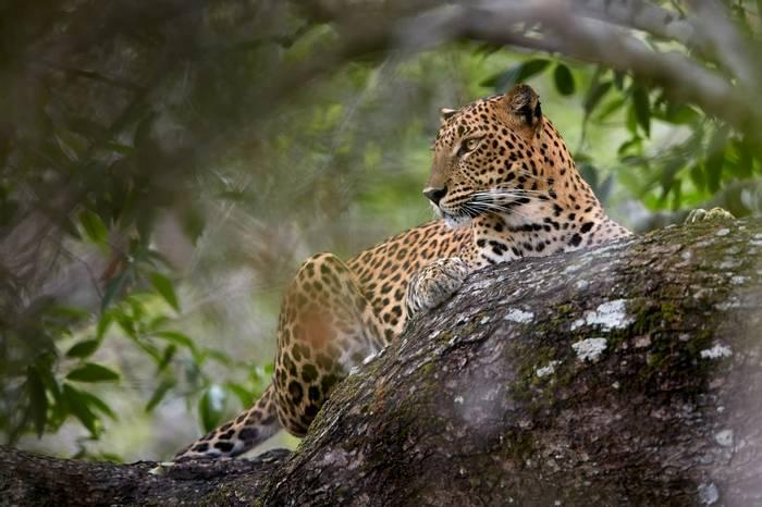 Leopard, Yala, Sri Lanka shutterstock_519604012.jpg