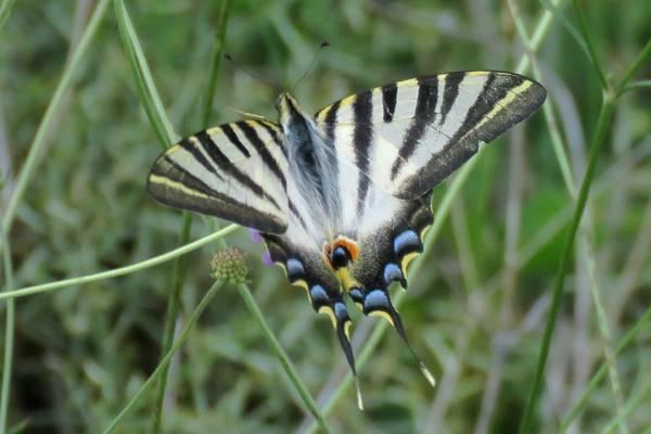 Spanish-Swallowtail