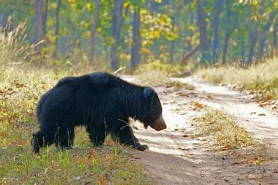 Sloth Bear, Satpura by Chris Hutchinson