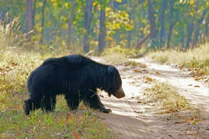 Sloth Bear at Satpura (Chris Hutchinson)