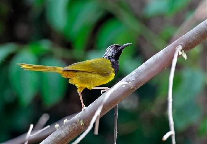 Oriole Warbler (Dick Forsman)