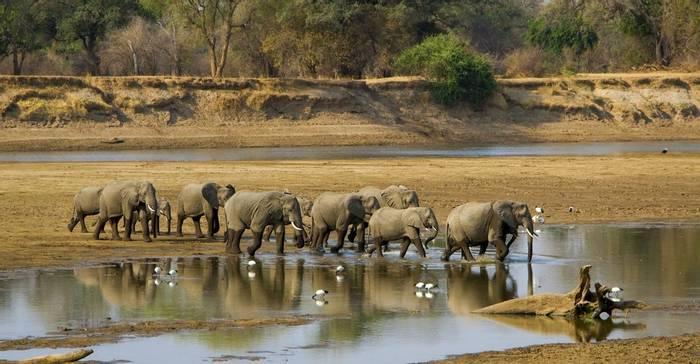 Elephants, Luangwa river, Zambia shutterstock_223620178.jpg
