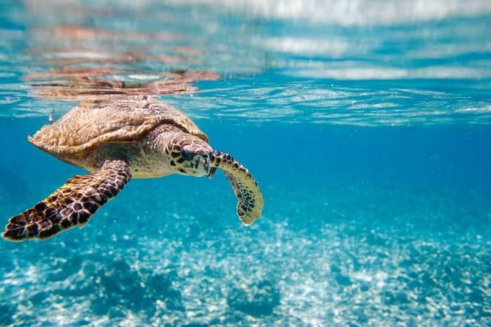 Hawksbill Turtle, Seychelles. Shutterstock 68699539
