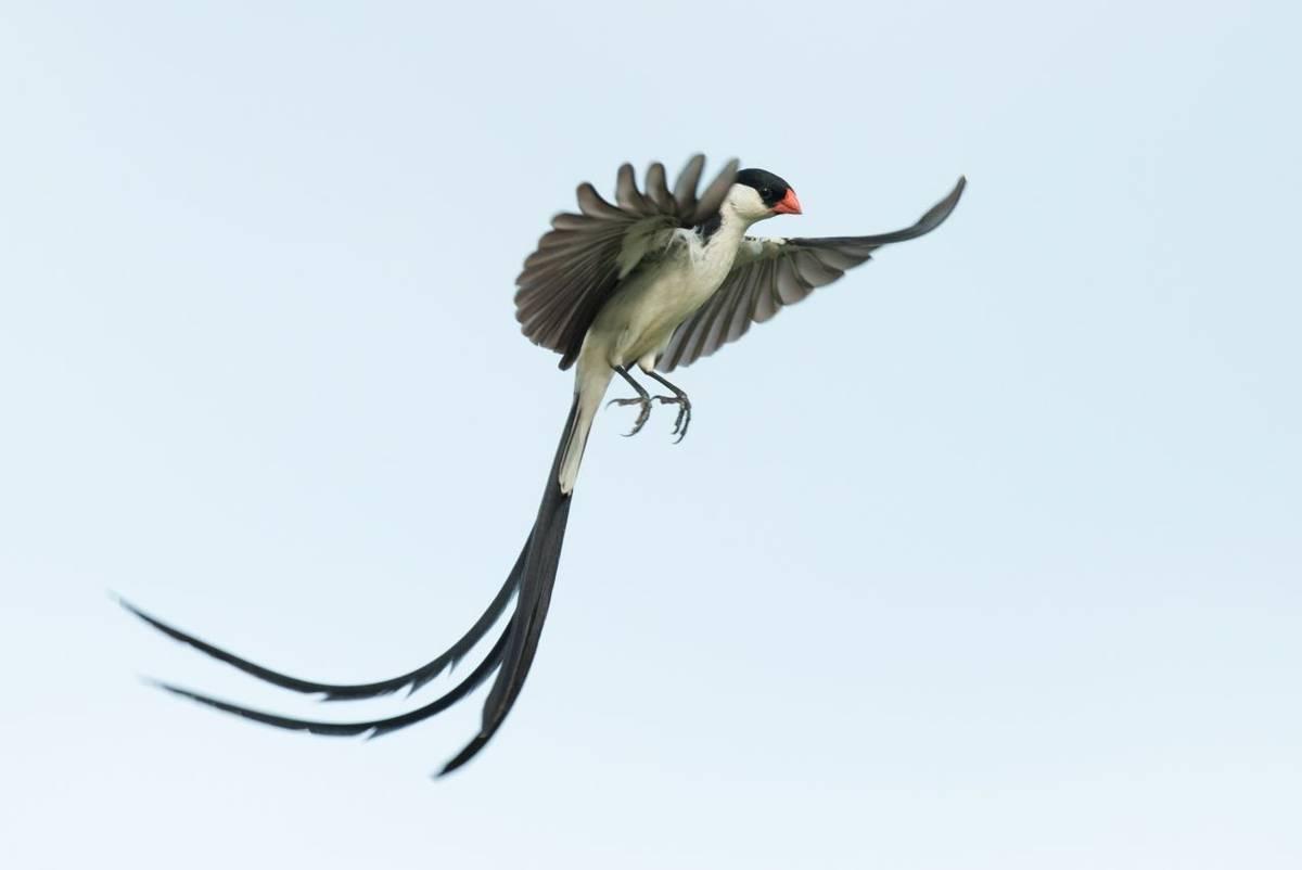 Pin-tailed Whydah shutterstock_574526164.jpg