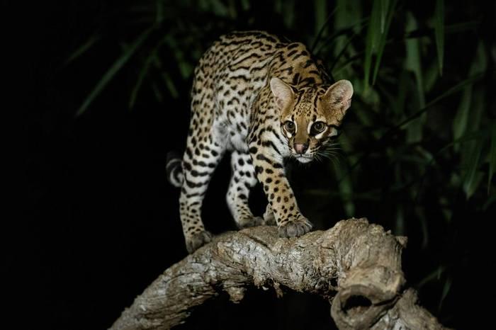 Ocelot, Southwild Pantanal, Brazil Shutterstock 791411449
