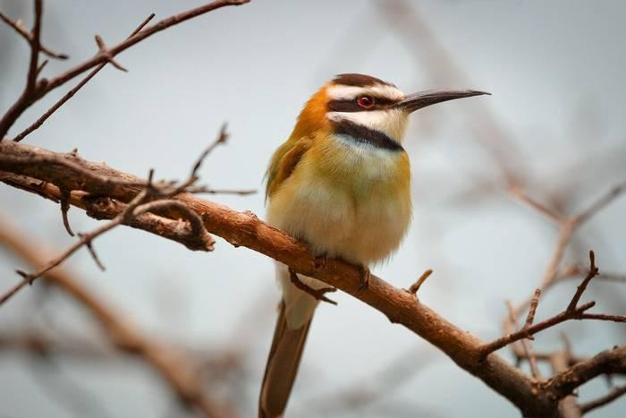 White-throated Bee-eater shutterstock_241169902.jpg