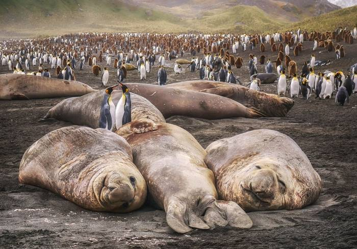 Southern Elephant Seals, South Georgia Shutterstock 676413961