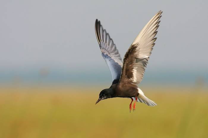 White Winged Black Tern (Peter Gyure)