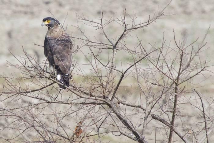 Crested Serpent Eagle (Liz Seeber)