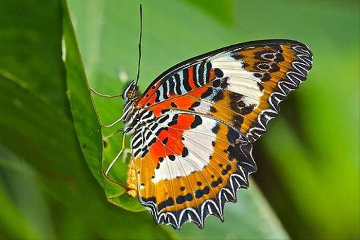 Butterfly sp. (Dani Free)