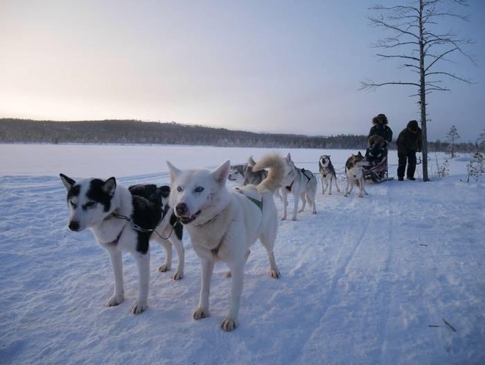 Dog Sledding Lapland 2