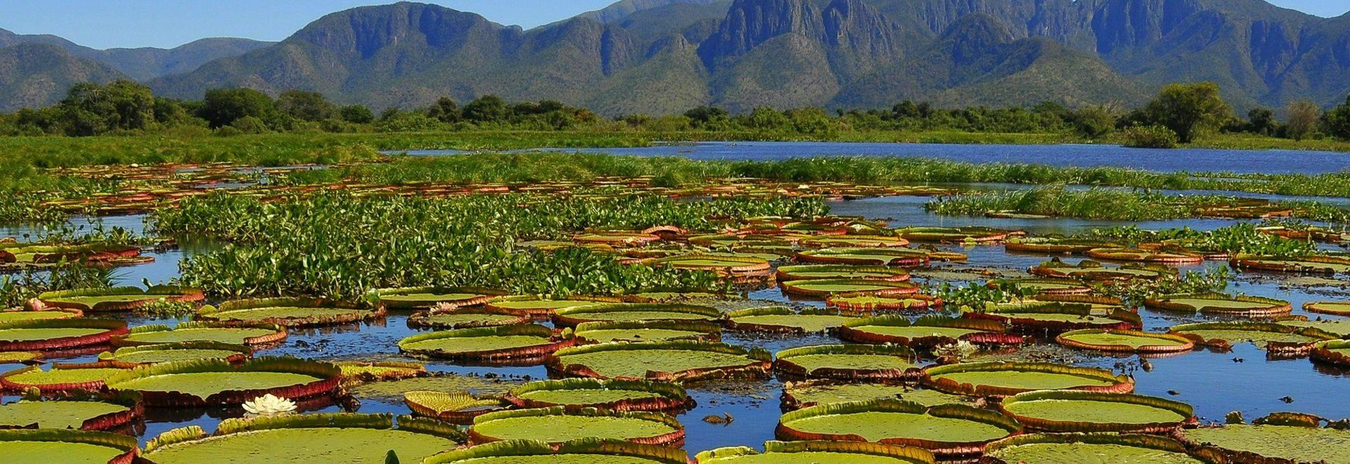 Giant Water Lilies, Pantanal National Park, Brazil Shutterstock 1115839766