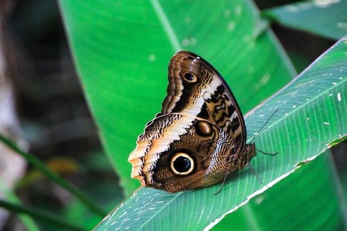 Owl Butterfly, Costa Rica Shutterstock 769165393