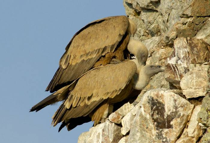 Griffons Mating (Peter Waterton)