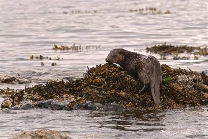 Otter (Dani Free)
