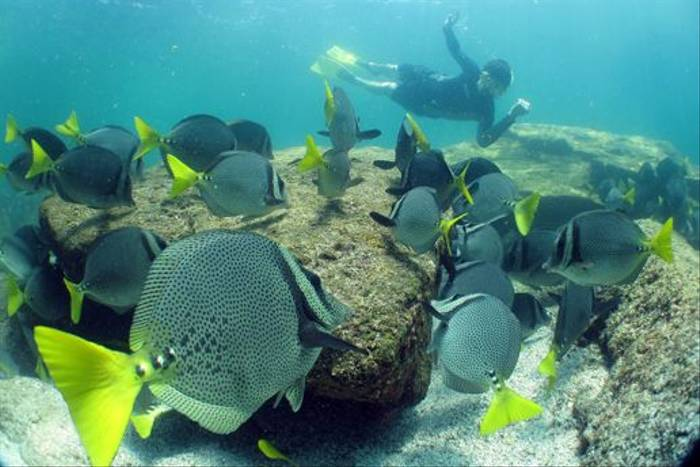 Yellowtail Surgeonfish (Lee Morgan)