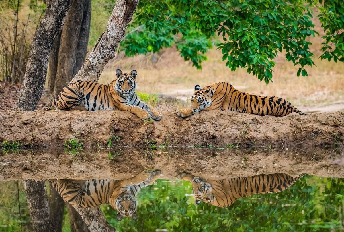 Tigers, Bandhavgarh National Park, India shutterstock_687273691.jpg