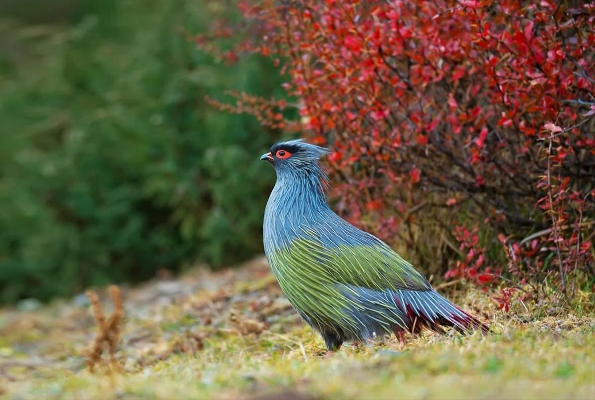 Blood Pheasant, Nepal Shutterstock 505055539