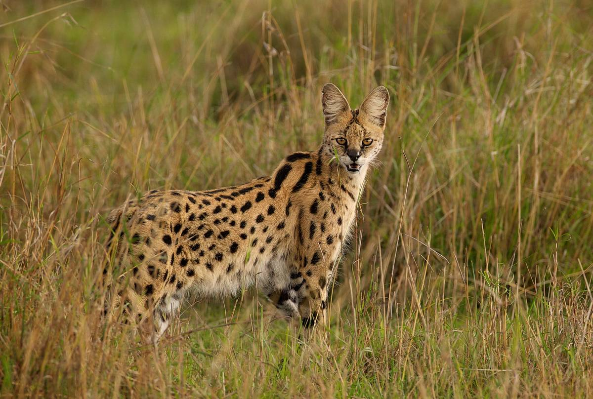 Serval, southern Africa shutterstock_289493381.jpg