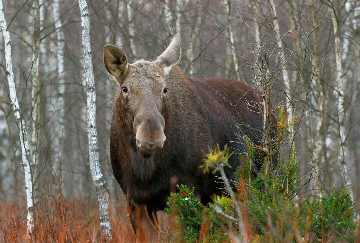 Moose, Poland Shutterstock 1076330543