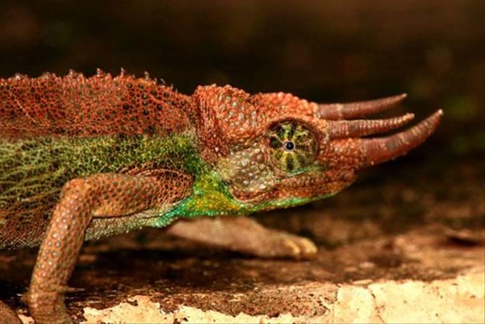 Jackson's Chameleon (Bret Charman)