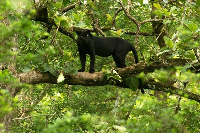 Black Panther 2 (David Raju).jpg