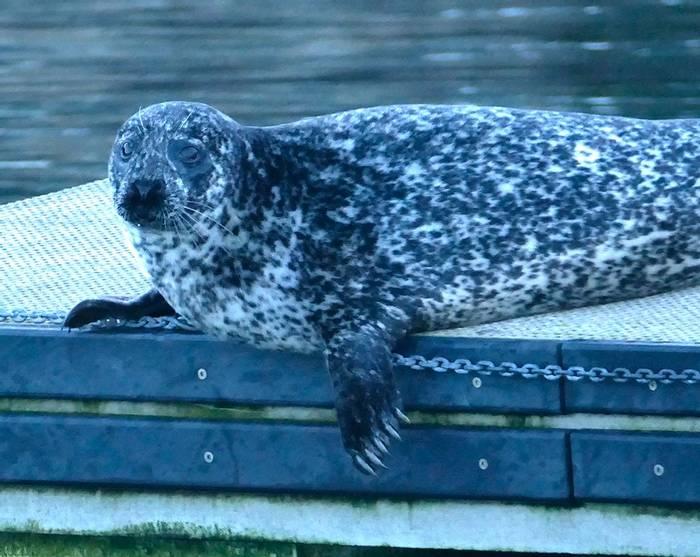 Harbour Seal (Mike Langman).jpg