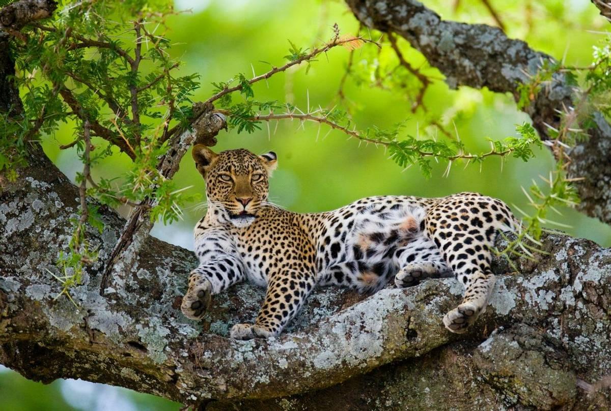 Zambia (Leopard)