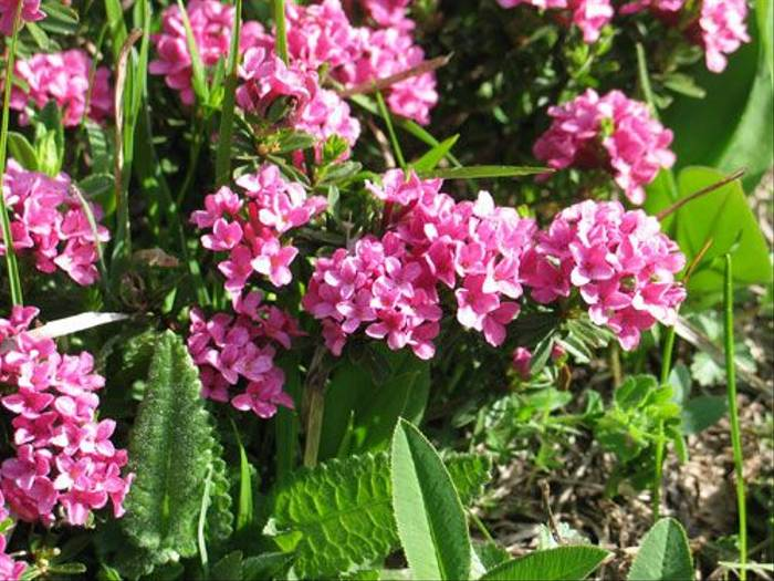 Daphne cneorum - Garland Flower (Paul Harmes)