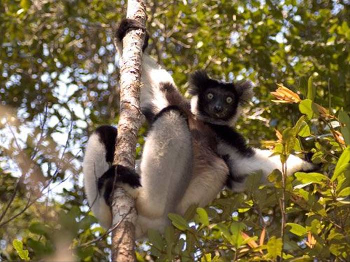 Indri (Paul Stanbury)